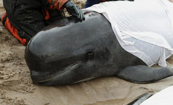 stranded pilot whale