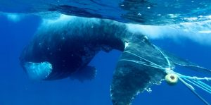 Entangled Humpback Photo E. Lyman_HWS and NOAA