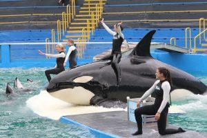 Lolita_Miami Seaquarium (c) Orca Network