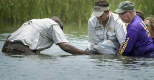 Octavius_dolphin rescued from Barataria Bay, Louisiana