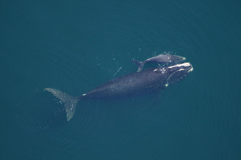 Tracking whales with phone app