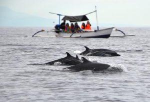 Bali wild dolphins