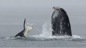 humpback and transient orca
