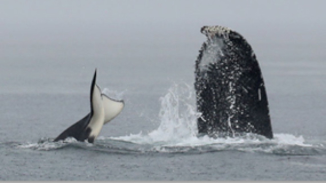 Transient orcas and humpbacks clash