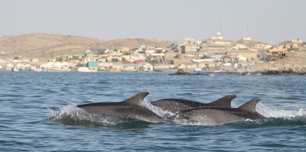 Potential export of wild dolphins from Africa to Asia