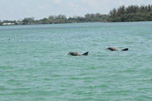 Dolphins in Sarasota Bay