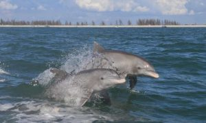 everglades-dolphins