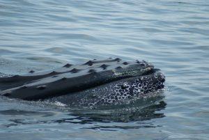 humpback2_andy-king