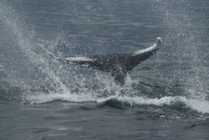 humpback_fluke_andy-king