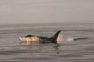 southern-resident-killer-whale_noaa
