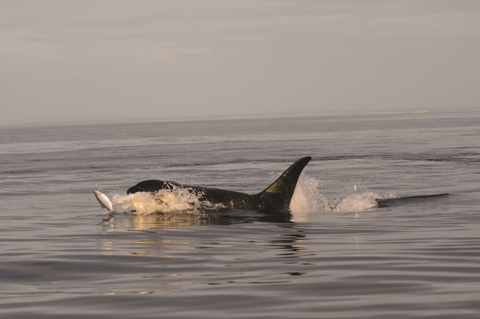 Future survival of southern resident killer whales