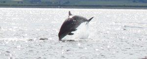 MF dolphin