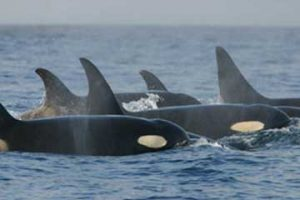 killerwhales_southernresidents (c) NOAA