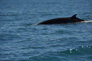 minke whale (c)Ronile