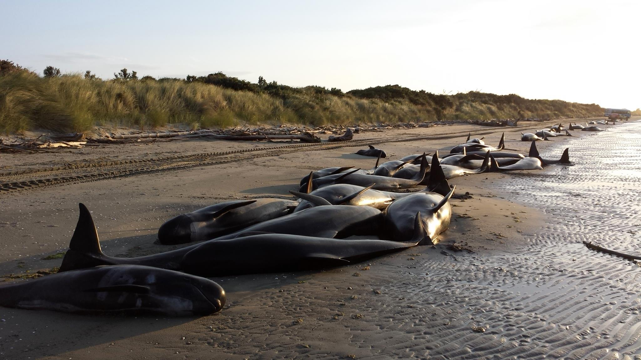 Plans for bodies of New Zealand whales
