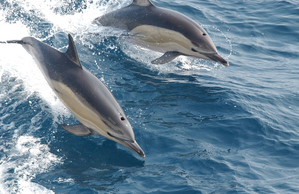 Fantastic sightings of dolphins off Scottish coast