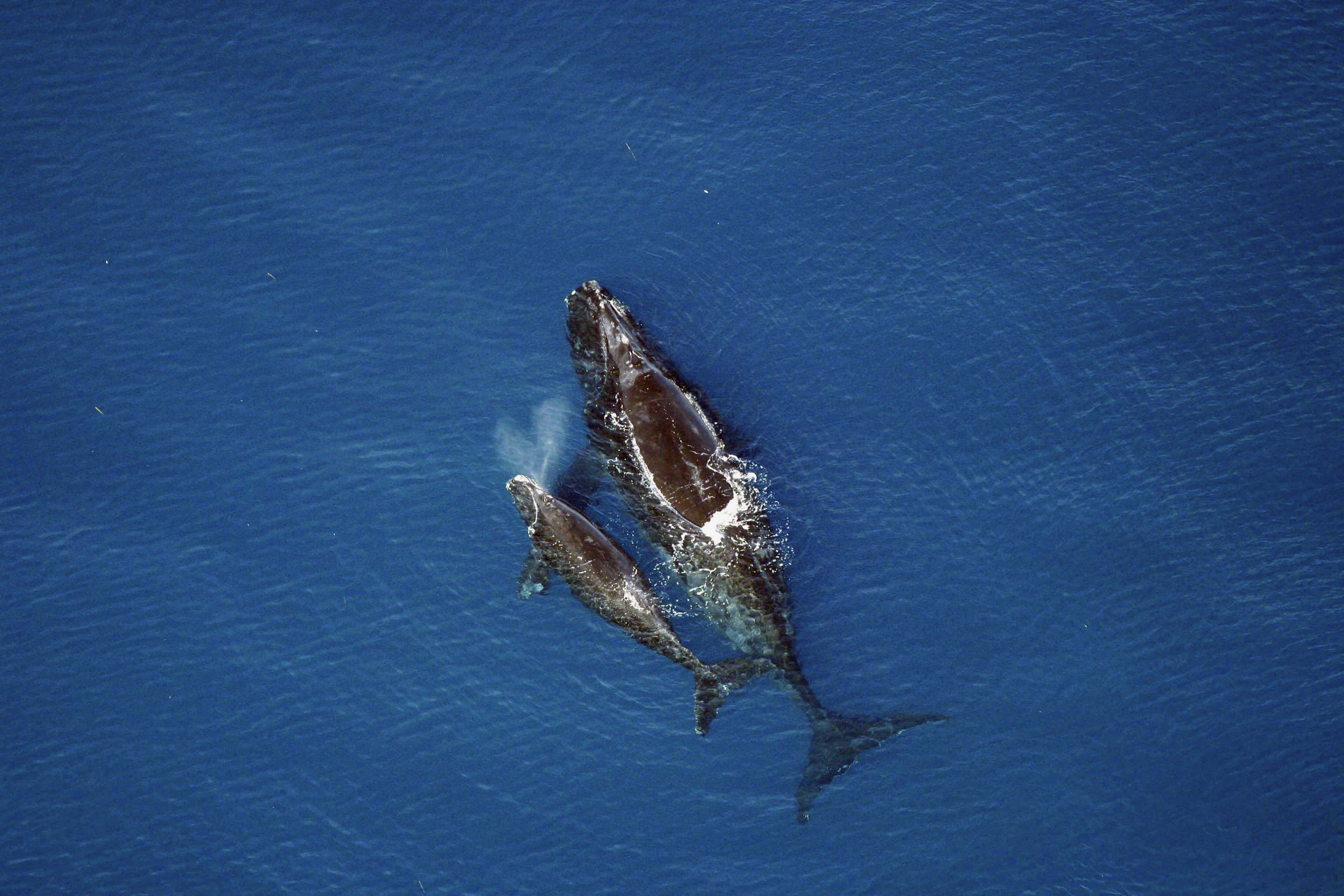 Right whale sightings dwindle this season