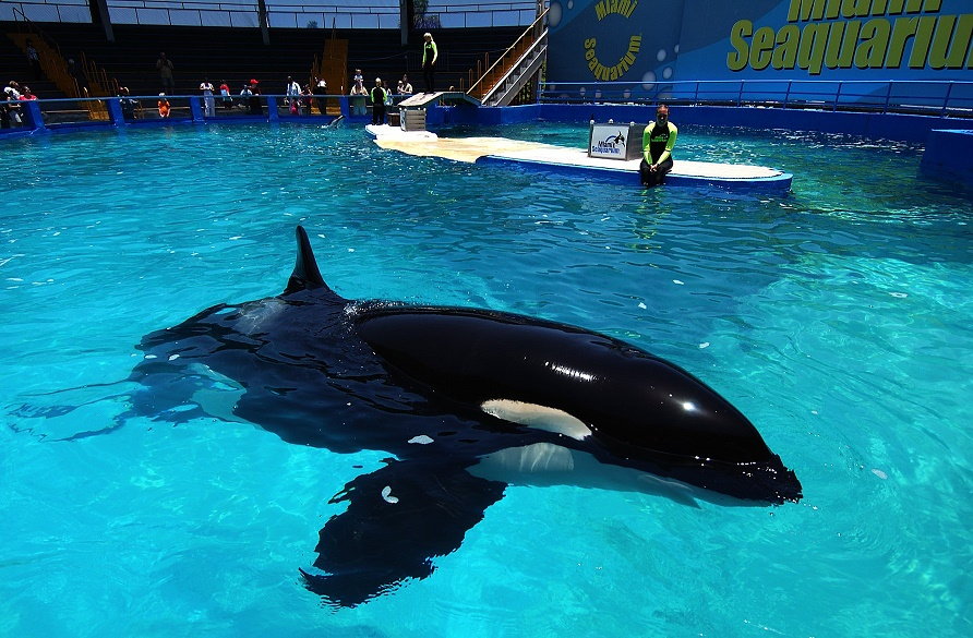 Magistrate recommends no fees in Seaquarium's Lolita lawsuit