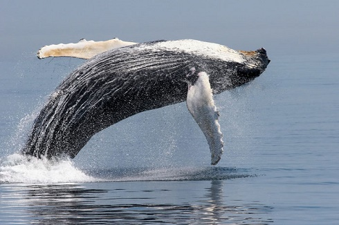 Humpback (c) Amy Kennedy, NOAA