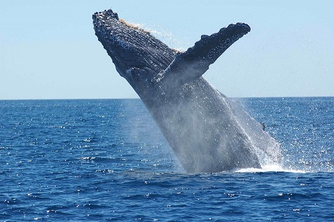 Cook Islands bans commercial fishing to protect whales
