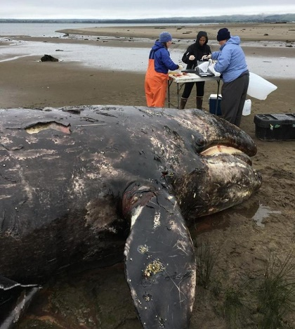Gray whale calf dies in fishing gear