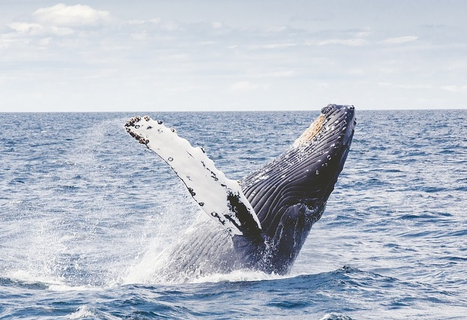 Humpback whales on track to Port Stephens, Australia