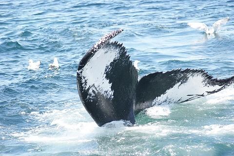 humpback-bob_wright