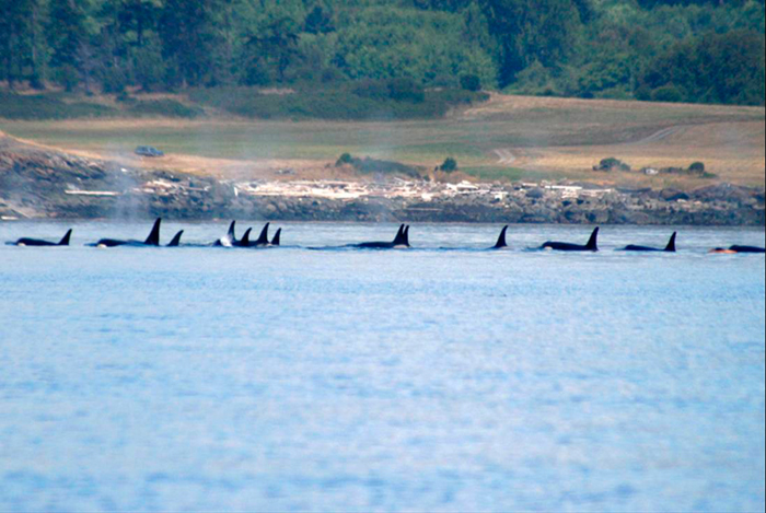 Salmon enhancement project to help hungry orcas