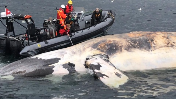 Right Whale (c) Marine Animal Response Society