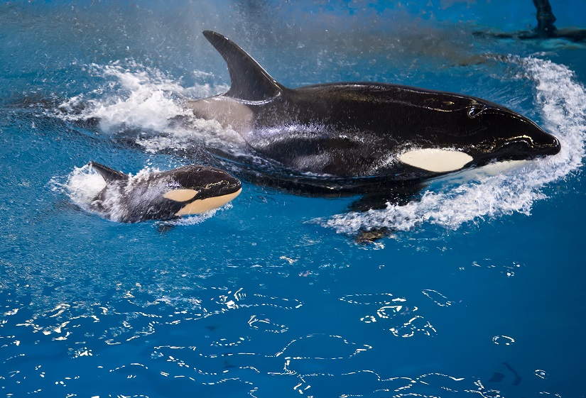 Takara and calf April 2017_SeaWorld