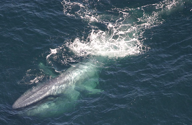 Blue whales threatened by seabed mining