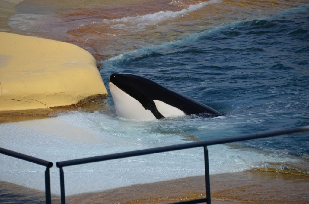 Orca Marineland Antibes (c) One Voice