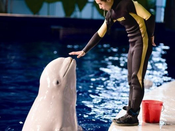 Changfeng Ocean World belugas destined for Iceland