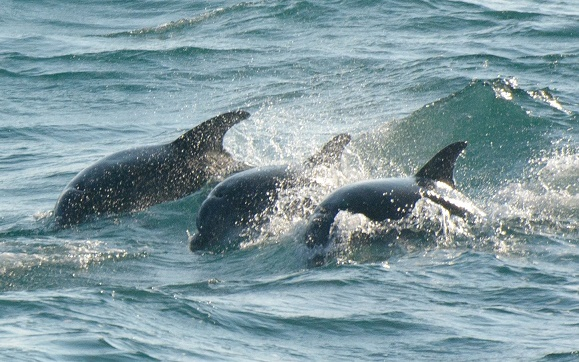 Cornish dolphins_Dan Murphy