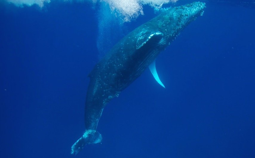 Humpback whale migration time in Hawaiian waters