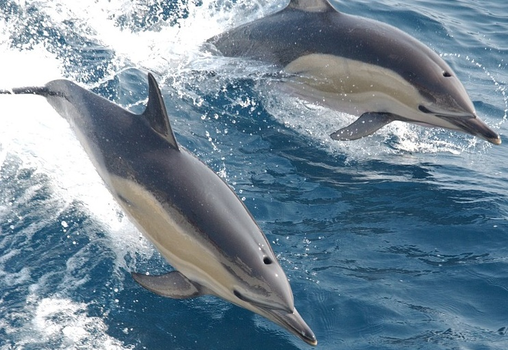 Alarming bycatch figures of common dolphins revealed