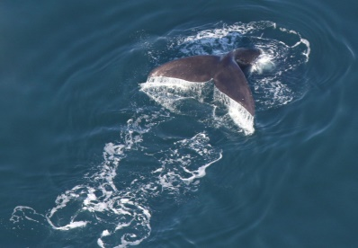 Great news – right whales back in Cape Cod Bay