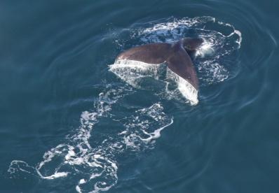 Right Whale (c) Center for Coastal Studies