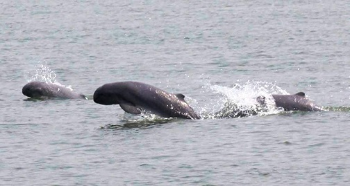Irrawaddy dolphins protection zone to be extended