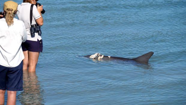 Monkey Mia Dolphins_shark attacks